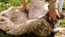Nożyce do strzyżenia owiec ręczne, szybkie typ C - zdjecie 2
