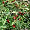 Siatka do ochrony czereśni i wiśni przed szpakami 4,8 x 5 m - zdjecie 3