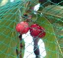Siatka ochronna  przeciw ptakom rolka 5 x 100 m