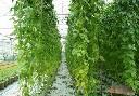 Siatka pod rośliny pnące 2x10m - zdjecie 2