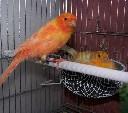 Gniazdo lęgowe dla kanarków i papug z siatki metalowej z zaczepami 12 x 6 cm - zdjecie 3