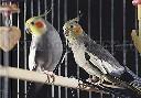 Żerdka sosnowa 10 mm dla papug i kanarków - zdjecie 2