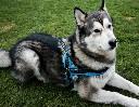 Szelki odblaskowe dla dużego psa COMFORT+  z miękkim ortalionem - rozmiar L - zdjecie 5