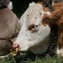 Przeciwzdajacz dla krów zaciskowy - zdjecie 3
