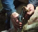Nożyce do kopyt i racic boczne krótkie - zdjecie 3