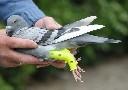 Usztywniacz rehabilitacyjny na nogi dla gołębi i innych ptaków