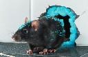 Racumin Foam 500ml - piana do zwalczania szczurów i myszy - zdjecie 2