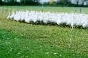 Siatka ogrodzenia elektrycznego dla królików gęsi kaczek wys. 60cm dł. 50 m pomarańczowa - zdjecie 2
